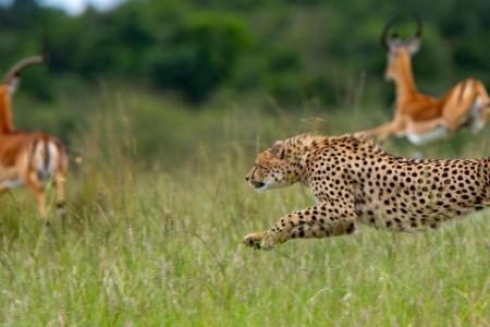 Gepard verfolgt Beute