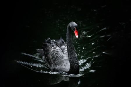 Schwarzer Schwan schwimmt im Wasser