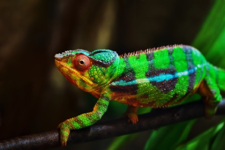 A picture of cameleon