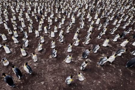 Eine Kolonie von Königspinguinen