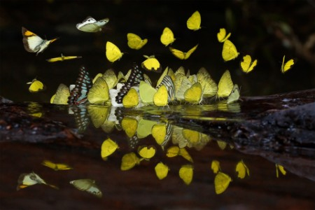 Group of yellow butterflies