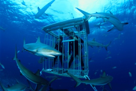 Scuba divers in cage observing Caribbean reef sharks
