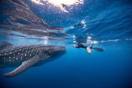 Mulher a fazer snorkeling em frente a um tubarão