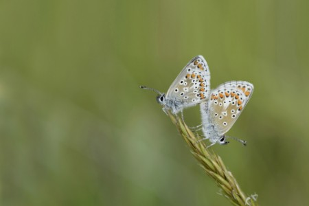 Two Brown Argus butterflies sitting ear grass