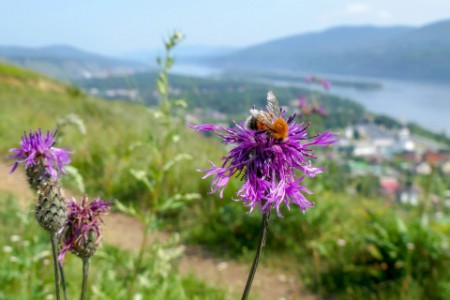 blooming thistle on the banks of the Yenisei river