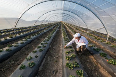 Agricultural engineer working in the greenhouse