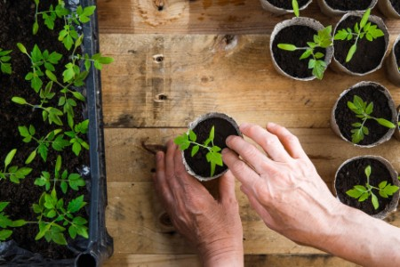 Gardener planiting seedlings into compostable ports