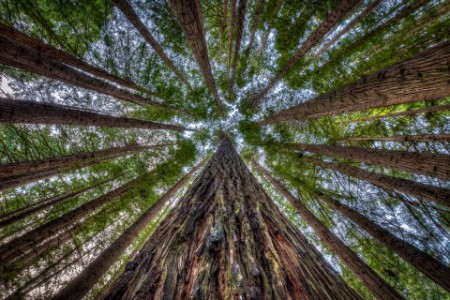 Looking upward among tall trees