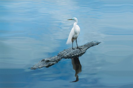 Great Egret standing alligator