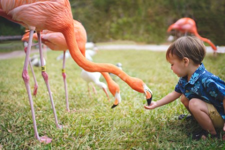 boy feeding flamingo