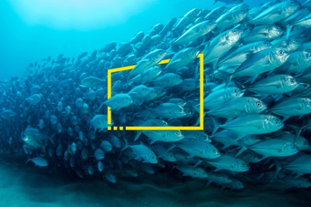 A school of bigeye trevally in the sea of Cortez