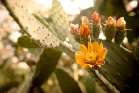 Opuntia cactus with blooming flowers