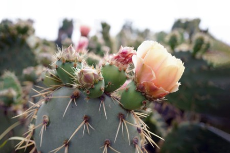 succulent cactus and prickly pear plants