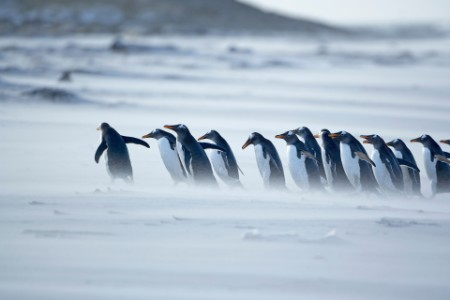 Penguins marching in line