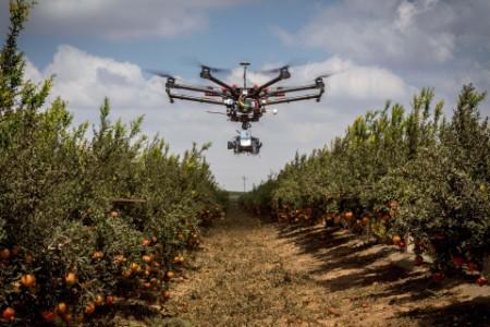 drone over a pomegranate farm
