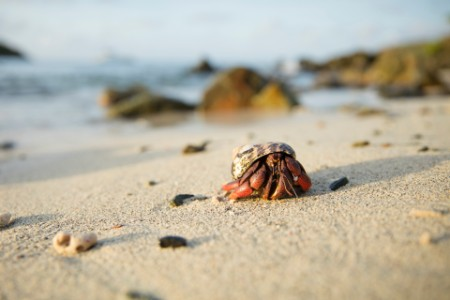 Hermit crab crawls beach salt pond bay US Virgin Islands