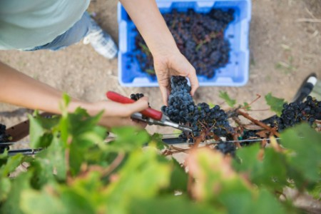 woman harvesting red grapes vines vineyard