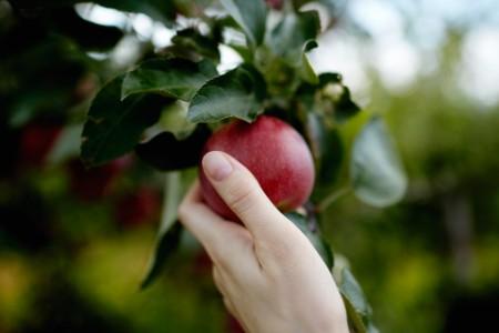 Mano alcanzando una fruta del árbol agarrando una manzana roja