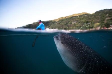Whaleshark swimming underneath boat Philippines