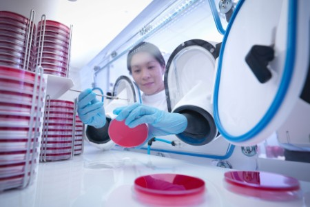 Scientist making bacterial culture in agar inside laboratory workstation
