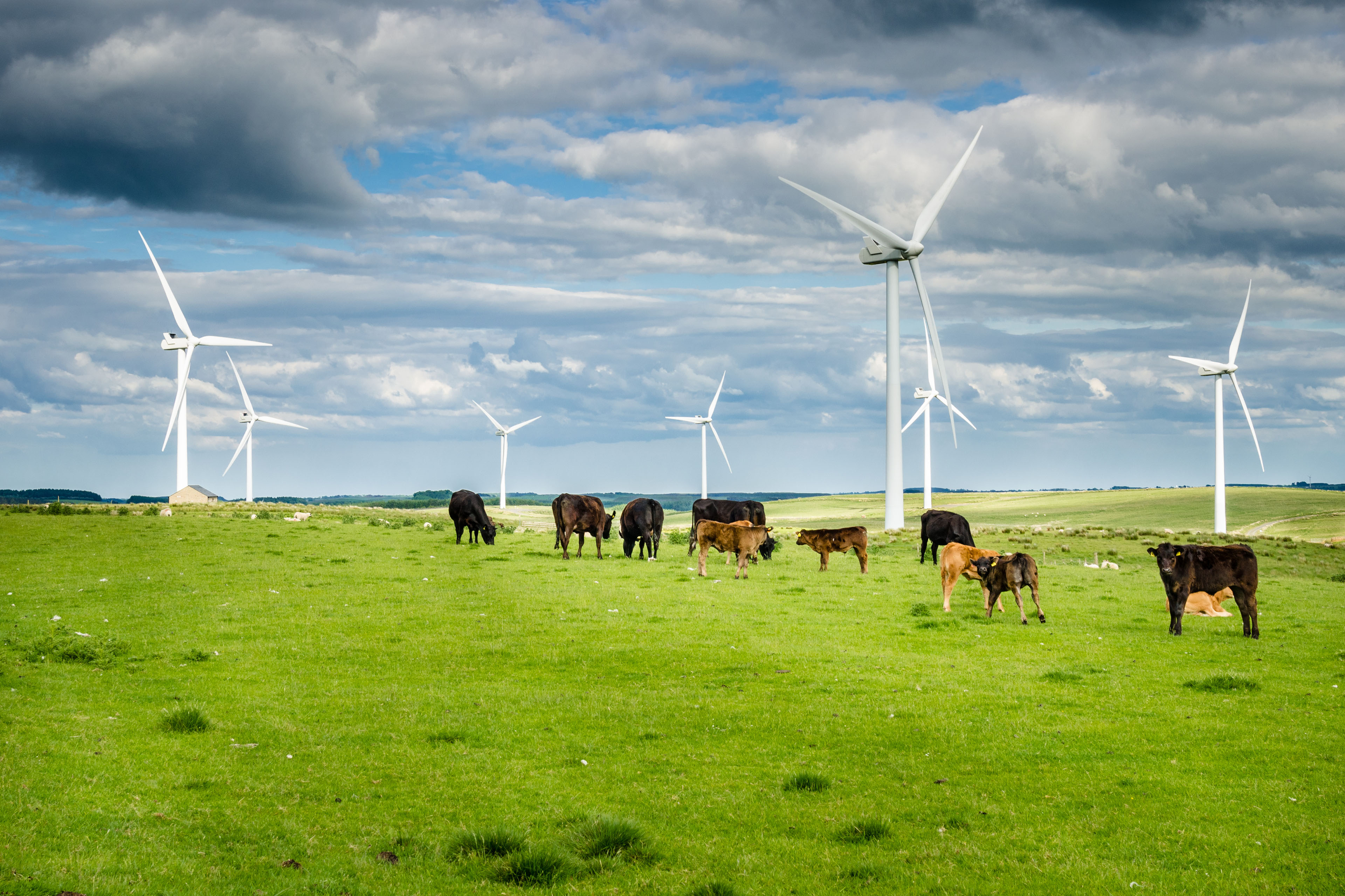 Wind Power Pland in a Grassy Field with Cows Grazing