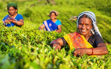 Woman picking tea leaves in a field.