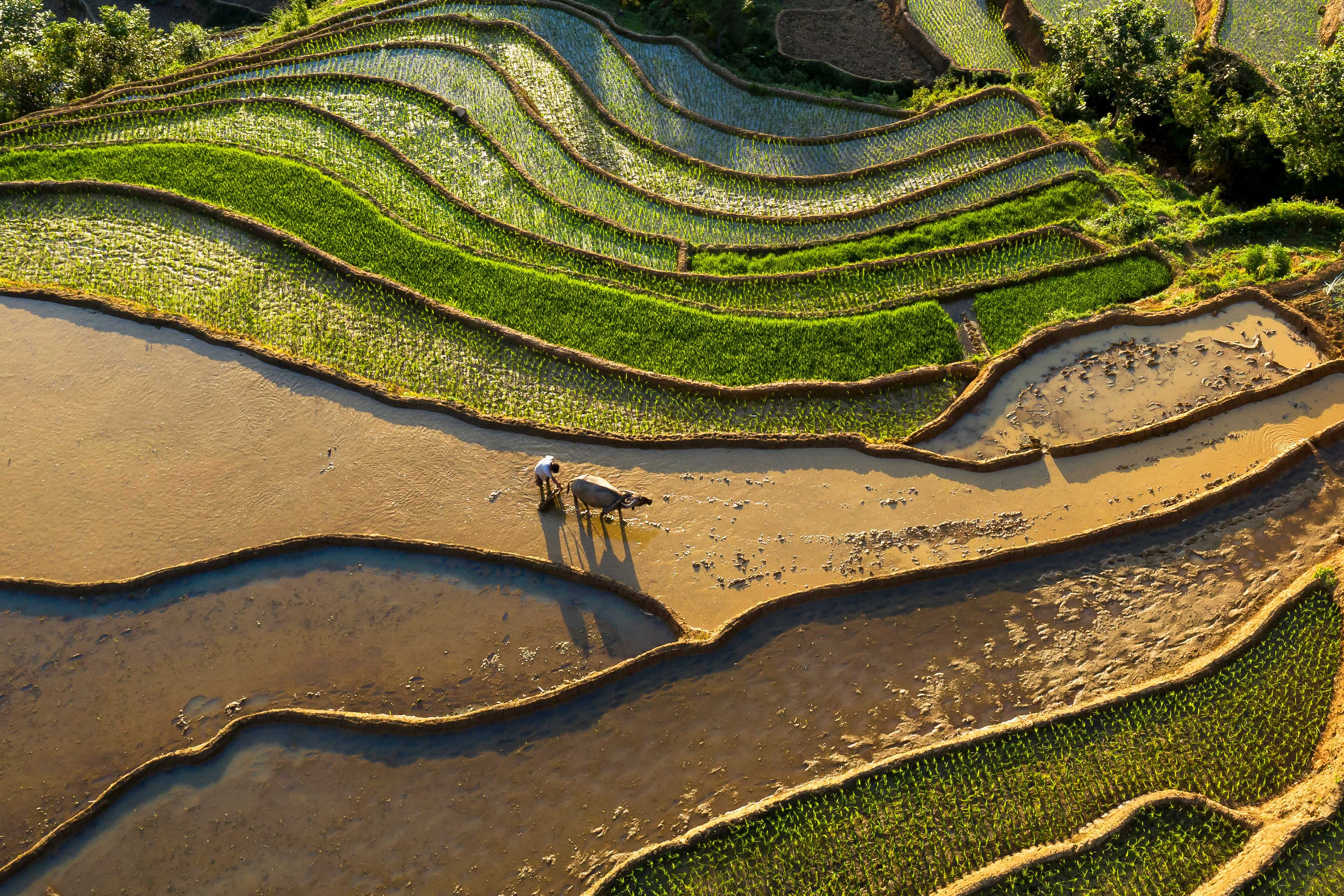 High angle view of rice paddy.
