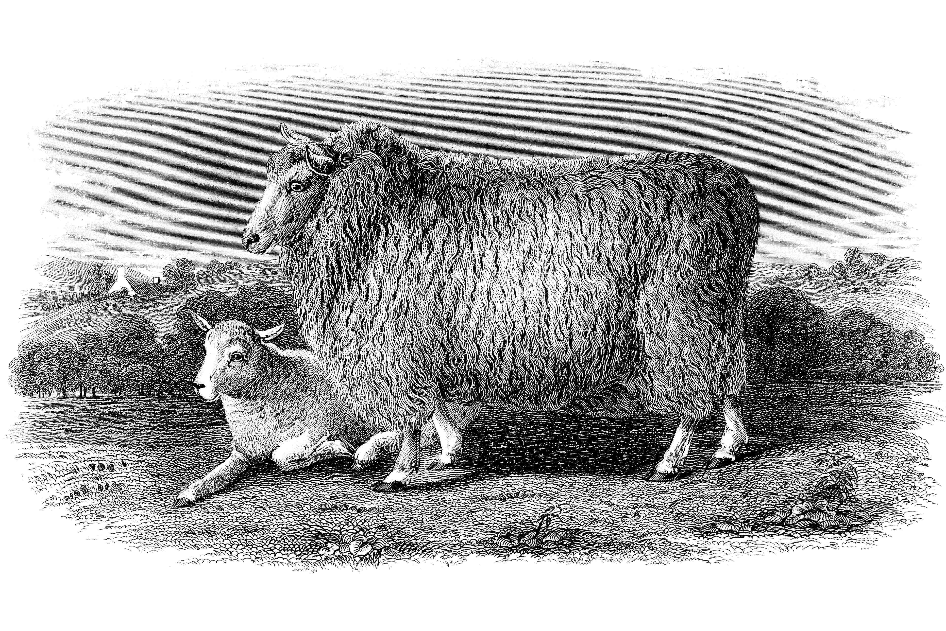 19th Century book illustration, taken from 9th edition (1875) of Encyclopaedia Britannica, of Romney Marsh sheep