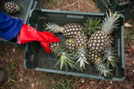 Commercial pineapple farming in Fotobi village, Ghana.