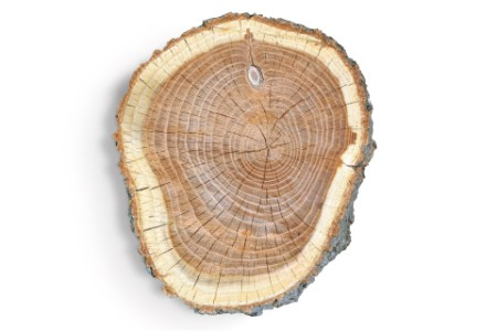 Photographic portrait of cross section of trees