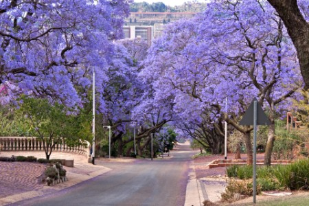Jacaranda trees lining the street in Pretoria, South Africa