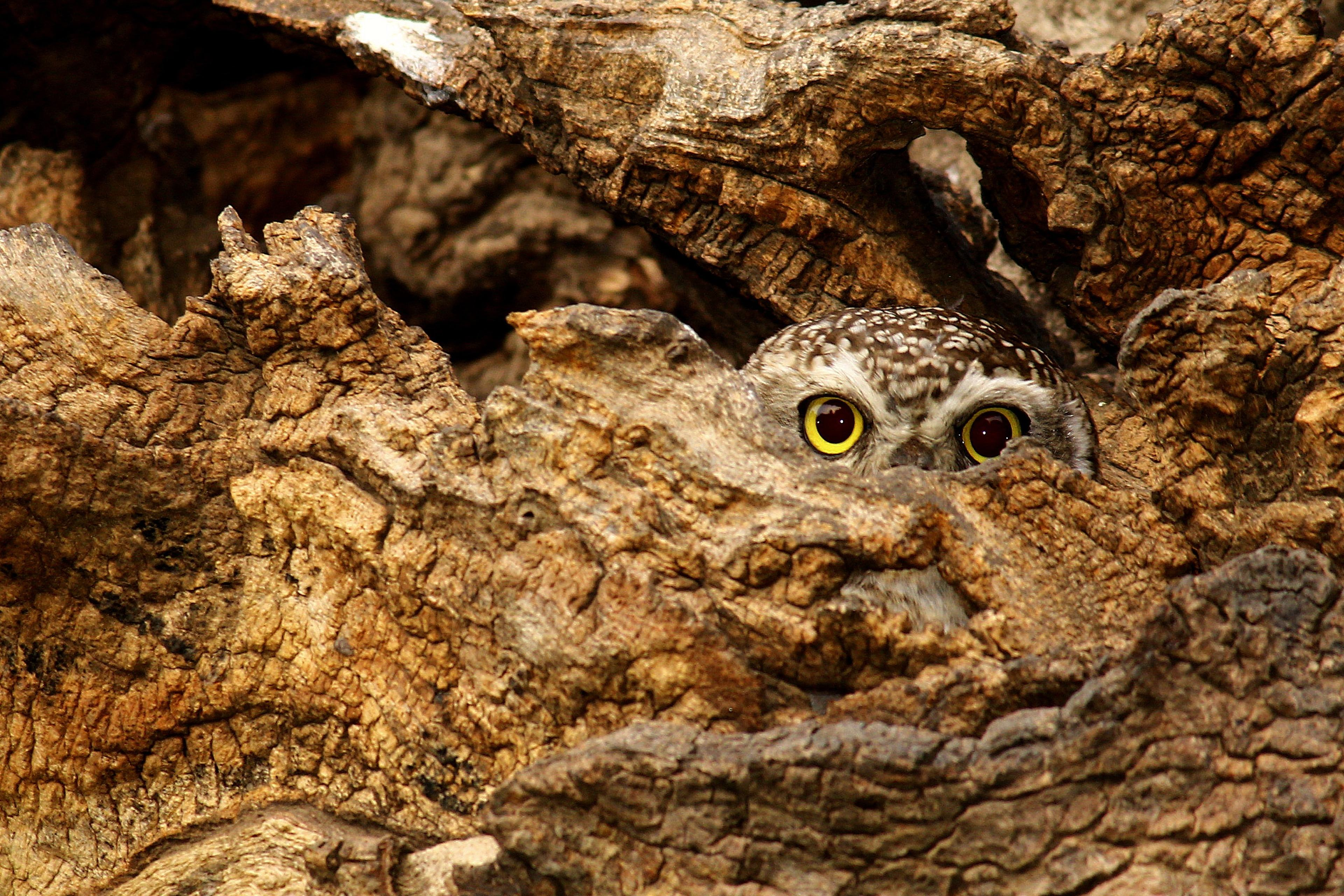 Owl peeking from between the tree bark