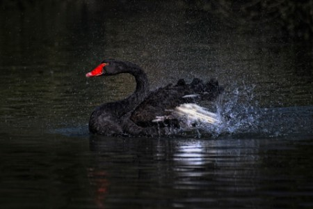 black swan shaking water from feathers on lake