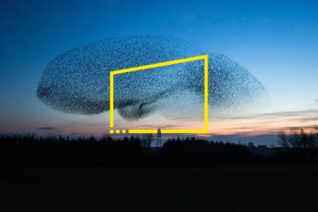 giant flock of starlings at starlings at dusk near scotland metadata image
