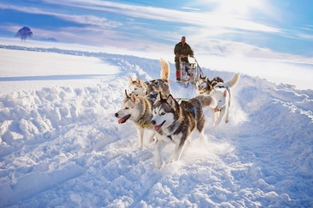 Dog sledge team