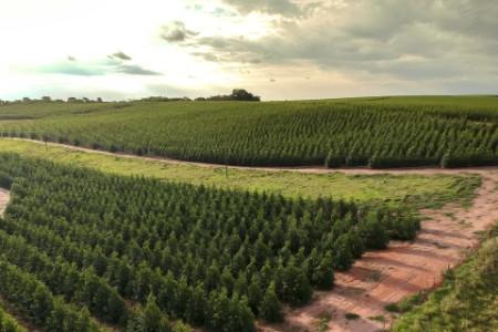 Aerial view of a young eucalyptus plantation