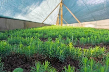 EY - Small fir trees in the nursery