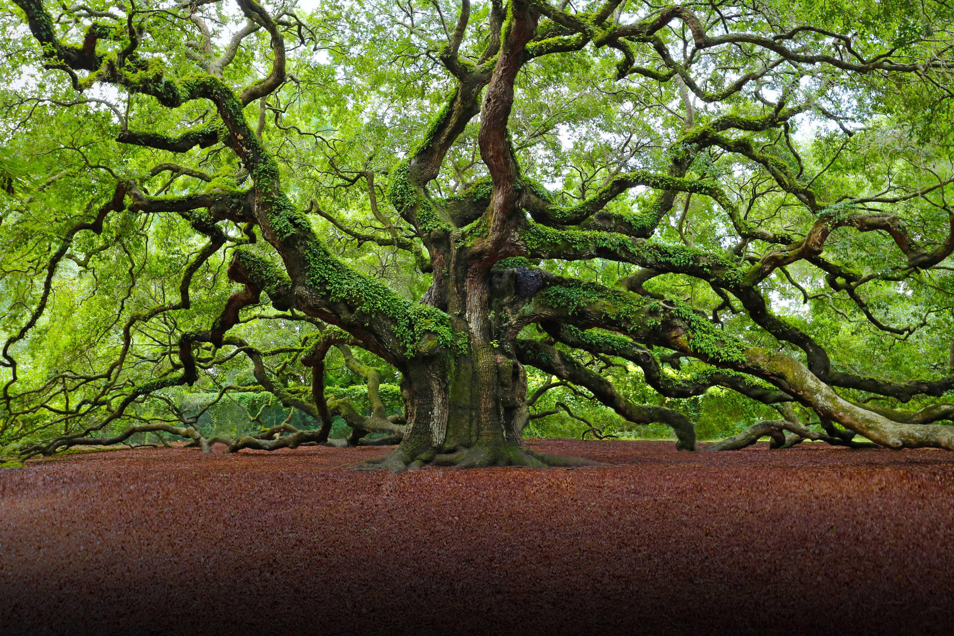large oak tree