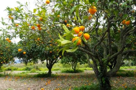 Resilient orange trees producing fruit