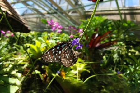 ey-pollinating-butterfly-in-greenhouse