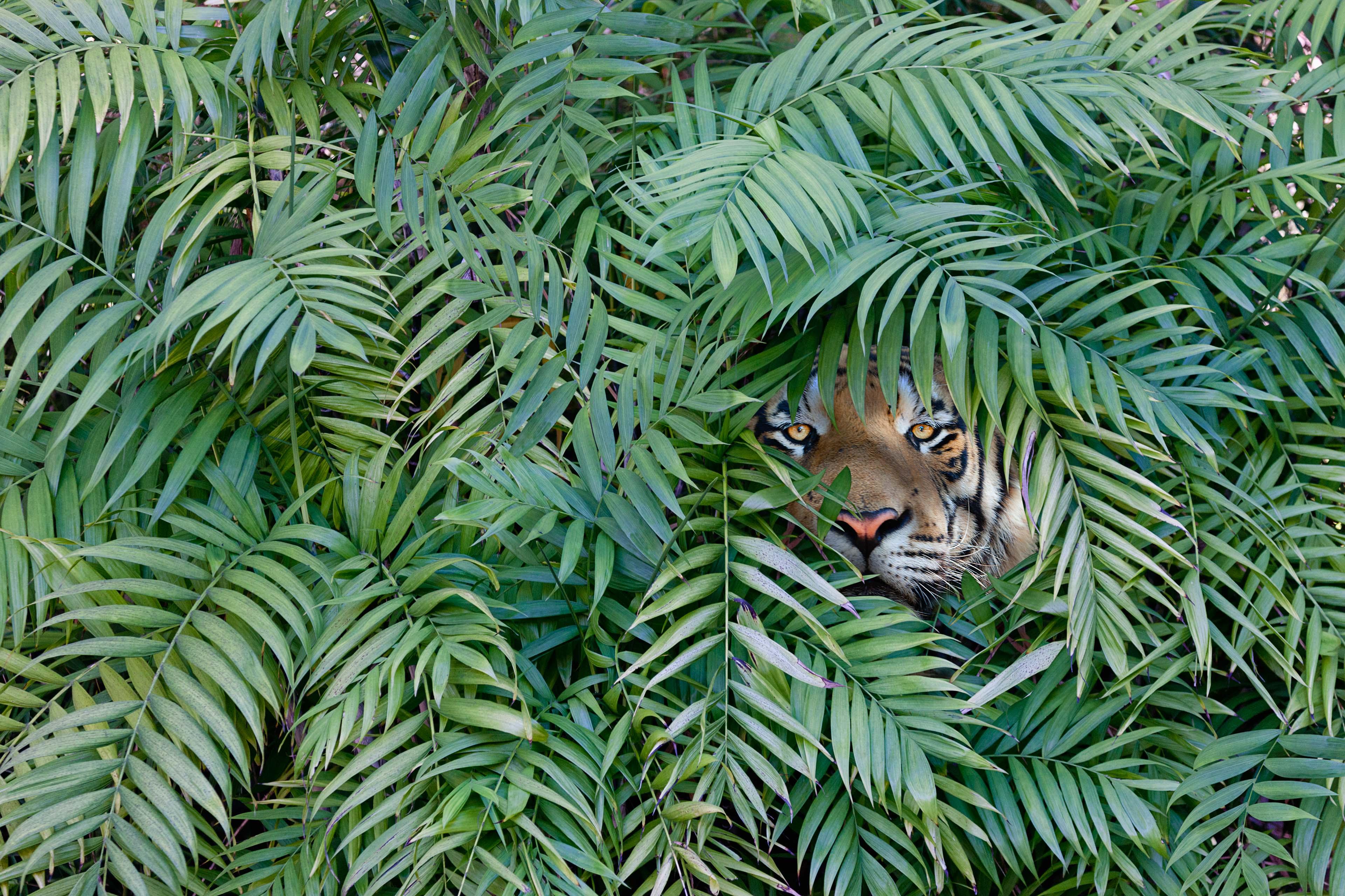 Tigris rejtőzködik a bokorban