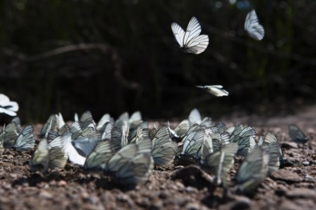A group of butterflies congregate on the shore of the Onon river in northern Mongolia