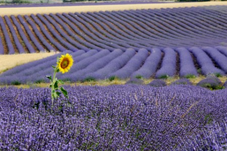 Lavender and sunflower
