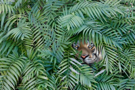 The hidden tiger looking through the shrubs