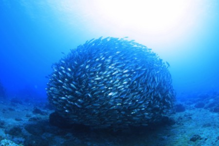 A group of fishes in shape of circle inside the sea