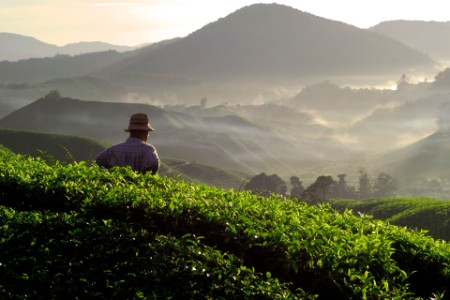 EY man walking through tea estate fields
