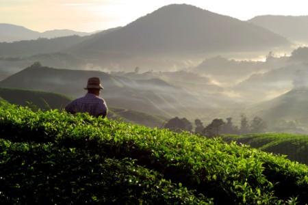 男子在茶園遠眺山巒
